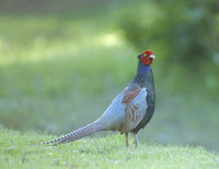 Green Pheasant (Phasianus versicolor) photo
