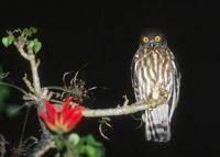 Brown Hawk-Owl (Ninox scutulata) photo