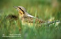 Wryneck Jynx torquilla adult 4 Suffolk May 1999 crs