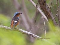 White-throated rock thrush C20D 03722.jpg