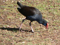 : Porphyrio porphyrio; Purple Swamphen