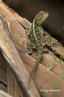 : Agama atricollis; Blue-headed Tree Agama