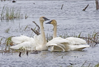 Trumpeter Swans at Seward. Photo by Dave Kutilek. All rights reserved.