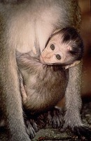 photograph of pig-tailed macaque : Macaca nemestrina