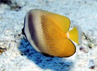 Chaetodon kleinii, Sunburst butterflyfish: fisheries, aquarium