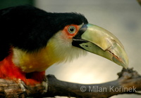 Ramphastos dicolorus - Red-breasted Toucan