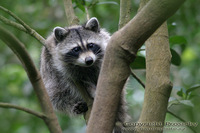 Procyon minor - Guadeloupe Raccoon