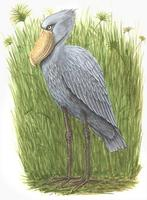 Image of: Balaeniceps rex (shoebill)