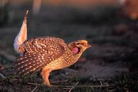 Image of: Tympanuchus phasianellus (sharp-tailed grouse)