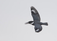Belted Kingfisher (Ceryle alcyon) photo