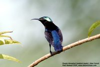 Purple-throated Sunbird - Leptocoma sperata