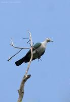 green-imperial-pigeon