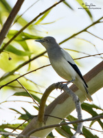 White-shouldered Starling (male) Scientific name - Sturnus sinensis