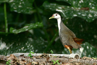 White-breasted Waterhen 白胸苦惡鳥
