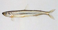Hypomesus olidus, Pond smelt: fisheries