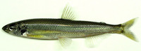 Hypomesus nipponensis, Japanese smelt: fisheries, aquaculture