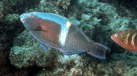 Scarus schlegeli, Yellowband parrotfish: fisheries, aquarium