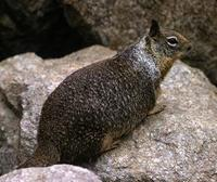 Image of: Spermophilus beecheyi (California ground squirrel)