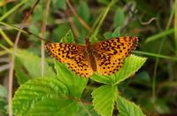 Image of: Boloria bellona (meadow fritillary)