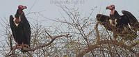 Image of: Sarcogyps calvus (red-headed vulture)