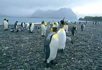 Photo: King penguins