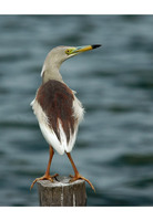 Indian Pond-Heron - Ardeola grayii