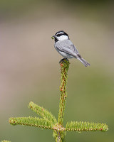Mountain Chickadee (Poecile gambeli) photo