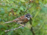 Siberian Meadow Bunting (Emberiza cioides) photo