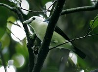White-headed Vanga - Artamella viridis