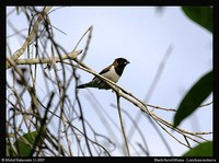 Black-faced Munia - Lonchura molucca