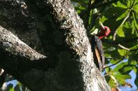 Red-necked  woodpecker   -   Campephilus  rubricollis   -   Picchio  collorosso