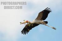 yellow billed stork building nest stock photo