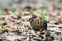 Name:	Taiwan Partridge