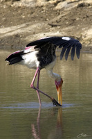 Mycteria leucocephala   Painted Stork photo