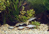 Cyprinella lutrensis, Red shiner: aquarium