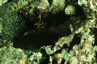 Cirripectes variolosus, Red-speckled blenny: aquarium