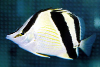 Prognathodes guyanensis, French butterflyfish: aquarium