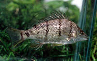 Amniataba percoides, Barred grunter: aquarium