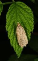 Image of: Oecophoridae (oecophorid moths)