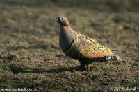 Pterocles orientalis - Black-bellied Sandgrouse