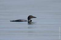 Image of: Gavia immer (common loon;great northern diver)