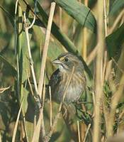 Seaside Sparrow (Ammodramus maritimus) photo