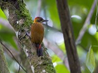 Red-rumped Woodpecker - Veniliornis kirkii
