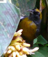 Dusky-faced Tanager - Mitrospingus cassinii