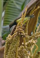 olive-backed-sunbird