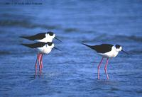 Black-Winged Stilt Himantopus himantopus 장다리물떼새