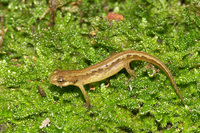 : Lissotriton vulgaris; Smooth Newt