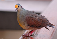 : Gallicolumba tristigmata; Yellow-breasted Ground Dove