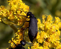 : Epicauta pennsylvanica; Black Blister Beetle;