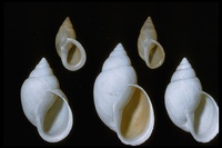: Bulimulus johnstoni; Lower California Land Snails